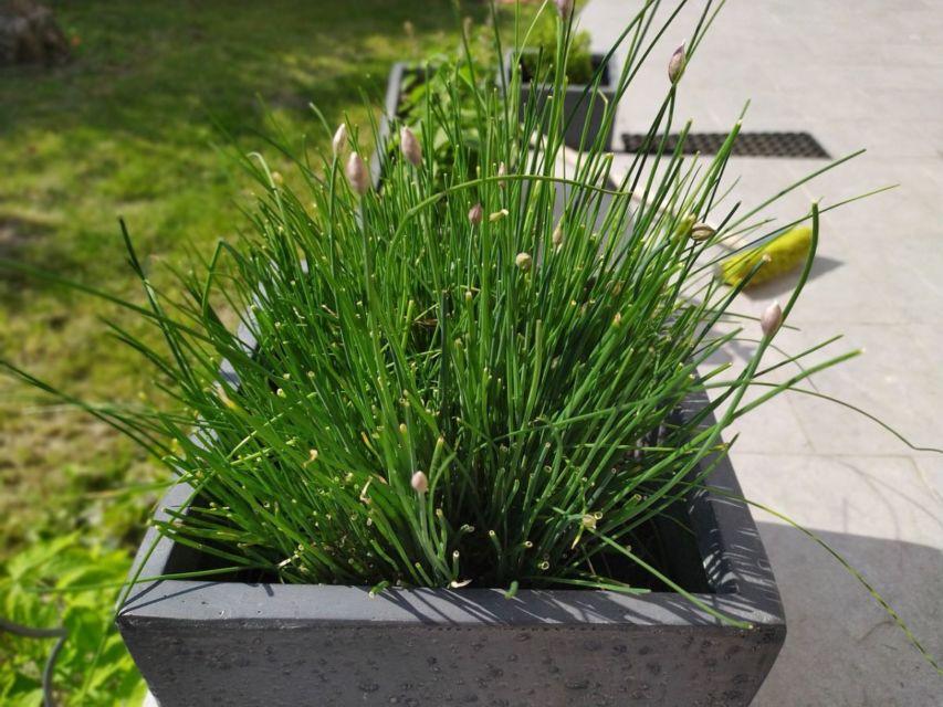 Cara menanam kembali daun bawang