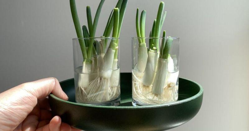 Cara menanam daun bawang dengan air