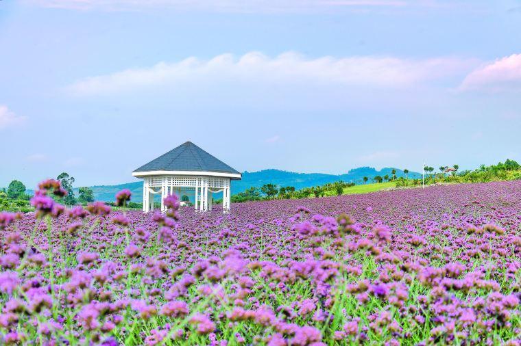Hamparan bunga lavender di Ziyi Xiangxun Valley (Photo by Trip.com from www.trip.com)