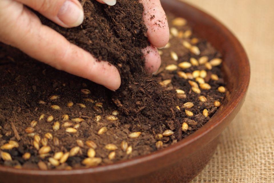 cara menanam jagung di polybag
