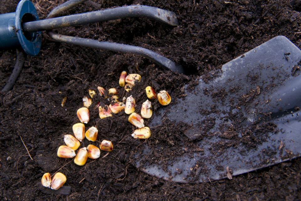cara menanam jagung yang baik
