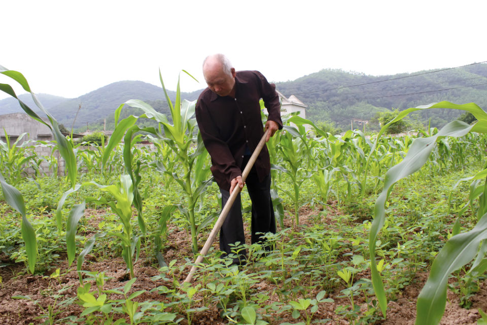 cara menanam jagung agar buahnya besar