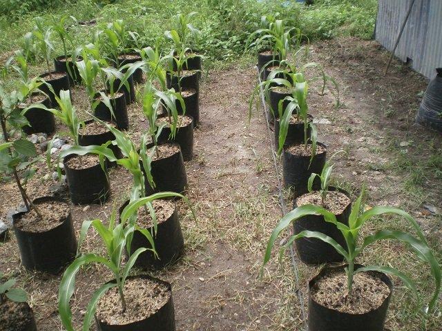 cara menanam jagung di dalam pot
