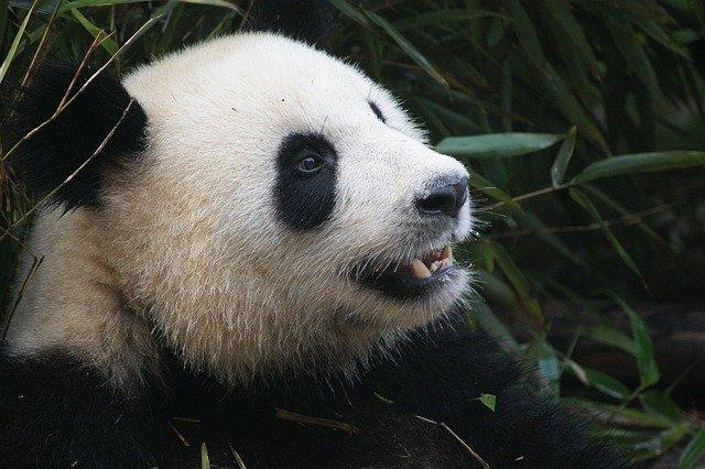 Panda di Chengdu (Photo by einszweifrei from Pixabay)