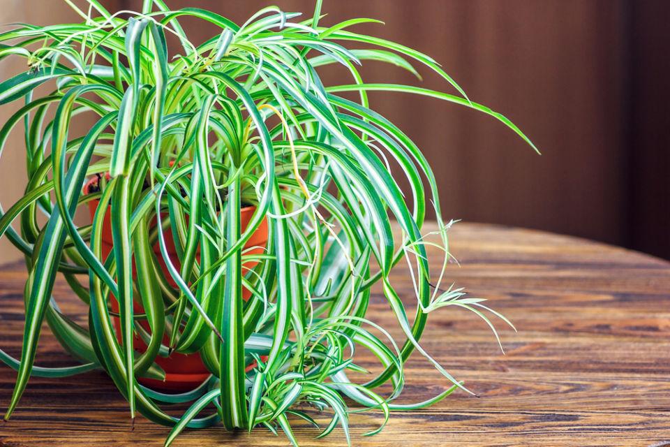 tanaman penghasil oksigen malam hari